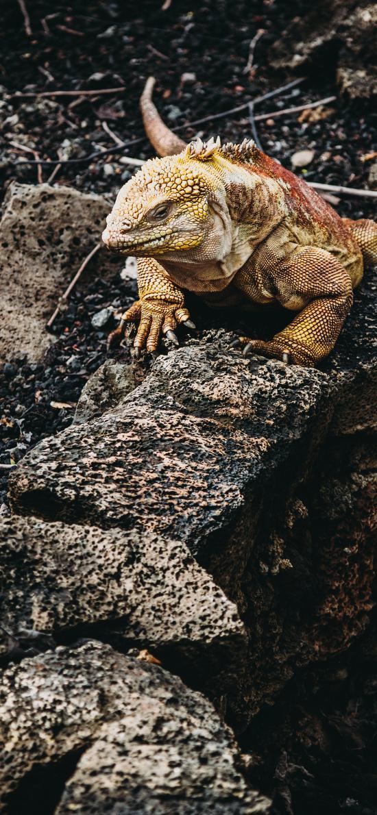 蜥蜴 爬行 鳞片 岩石