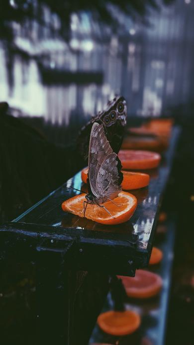 昆虫 蝴蝶  橙片 飞蛾