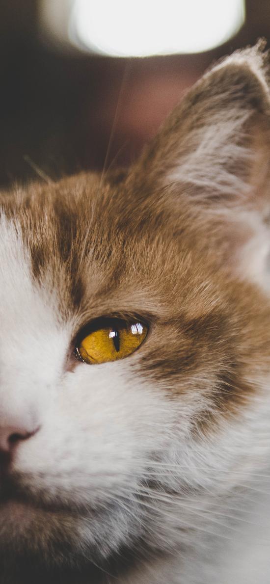 猫咪 宠物 半脸 橘猫
