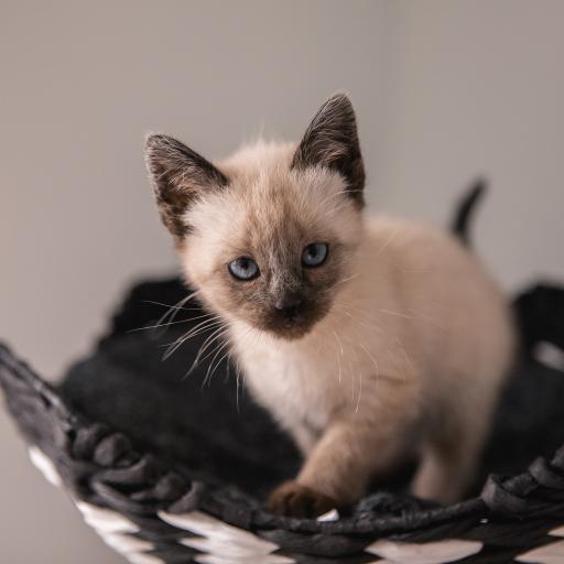 猫咪 暹罗猫 宠物 品种