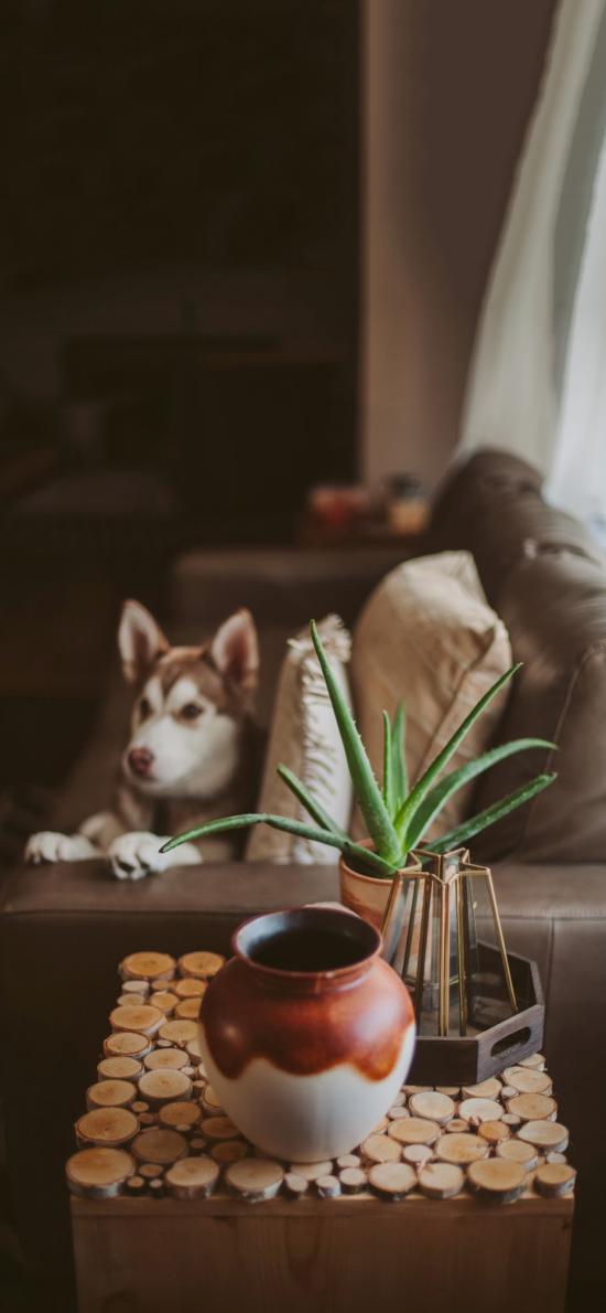 家居 擺件 盆栽 蘆薈 哈士奇 寵物狗