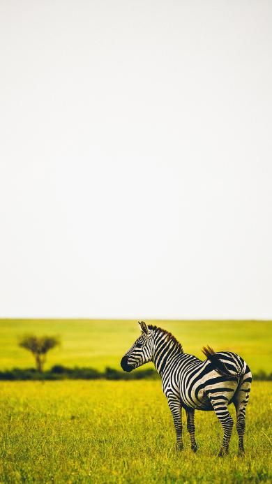 斑马 草原 牲畜 野生
