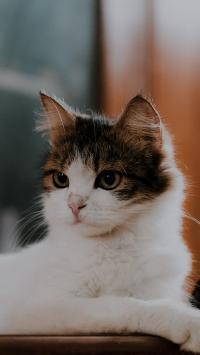 猫咪 宠物 花猫 皮毛