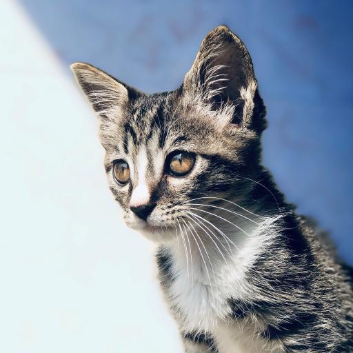猫咪 宠物 皮毛 眼睛