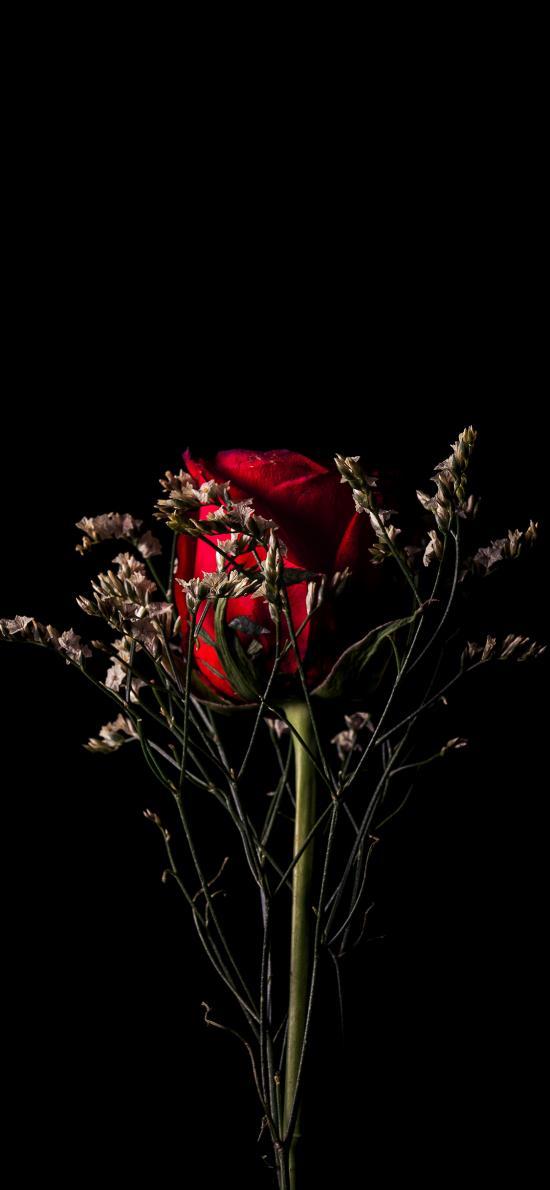 鲜花 玫瑰 花草  特写