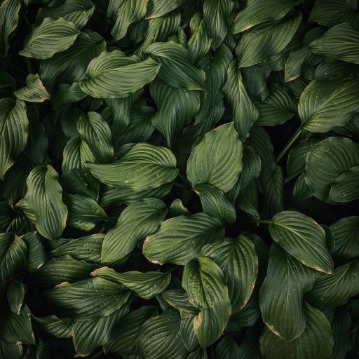 绿叶 绿植 密集 生长