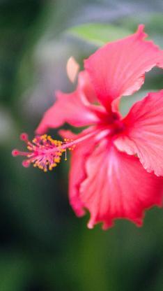 鲜花 扶桑花 盛开 花柱