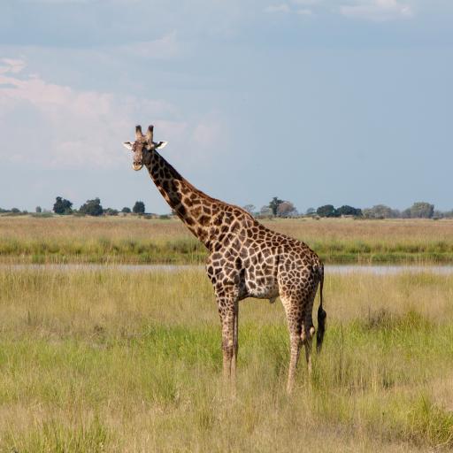 长颈鹿 草原 野生 斑纹