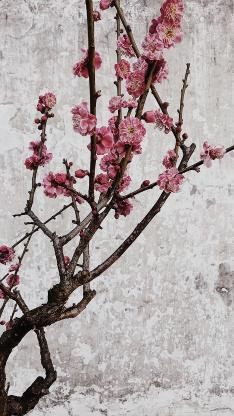 树木 枝干 鲜花 梅花 粉色