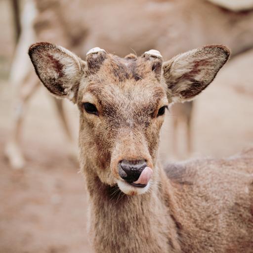 鹿 皮毛 栏杆 吐舌