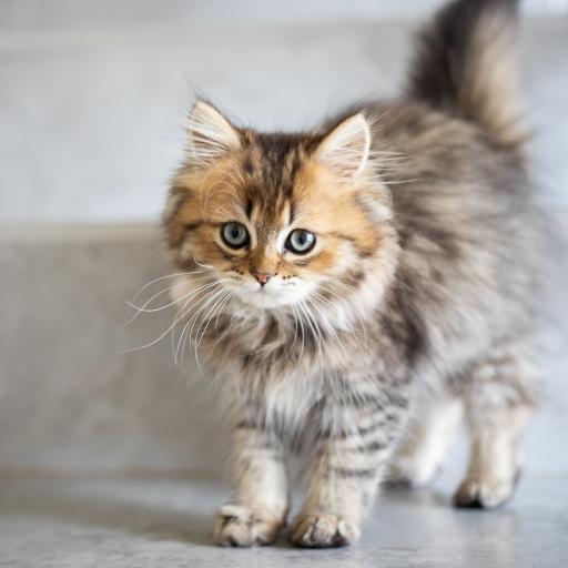 猫咪 宠物 皮毛 蓬松