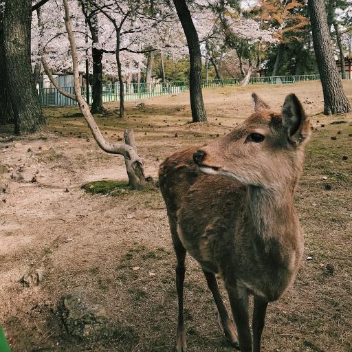 鹿 户外 野生
