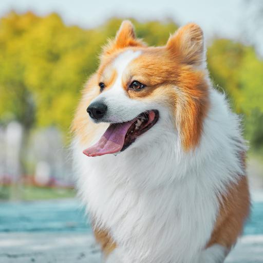 宠物 柯基 可爱 犬类