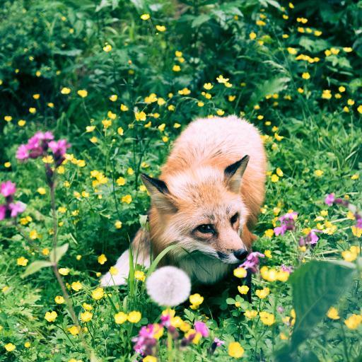 狐狸 花丛 草地 野外