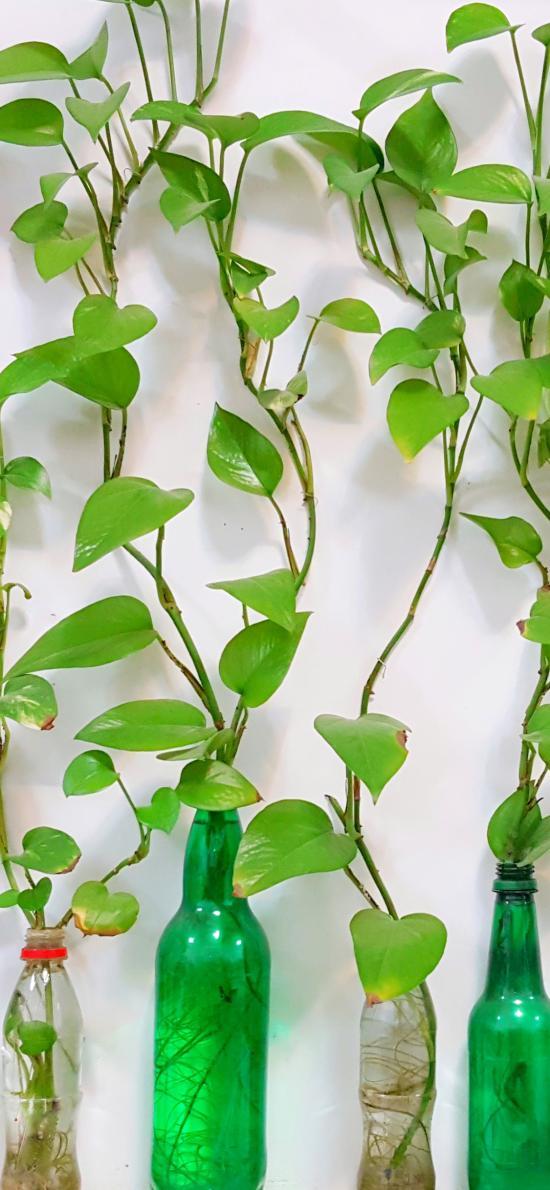 绿意 绿植 塑料瓶 养殖 绿萝