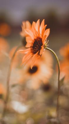 向日葵 鲜花 盛开 枝干