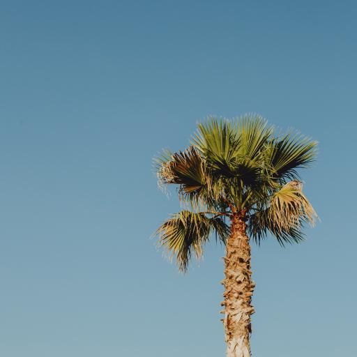 棕榈 树木 枝干 热带 蓝色