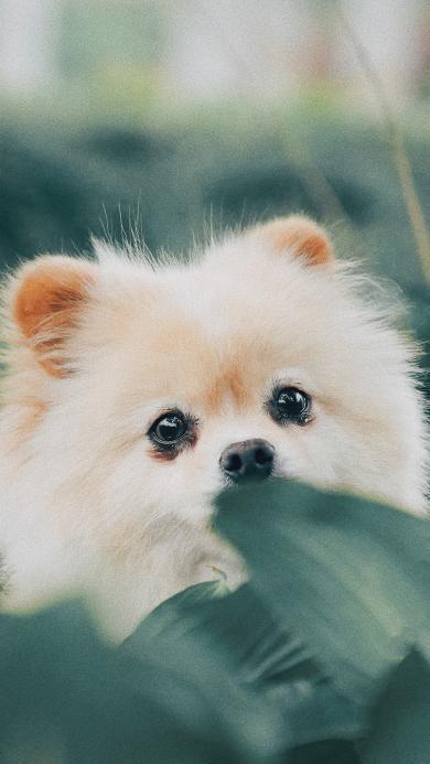 博美 毛茸茸 宠物 可爱 小狗