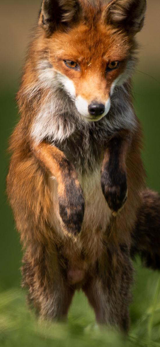 郊外 狐狸 跳跃 狡猾