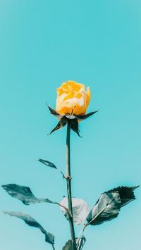 玫瑰 鲜花 枝叶 枝干