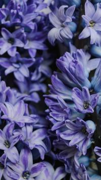 鲜花 风信子 洋水仙 草本 花簇
