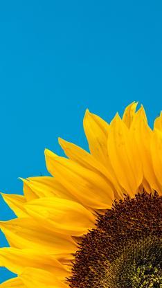 向日葵 鲜花 盛开 花瓣