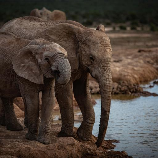 大象 岸边 小象 亲子 饮水