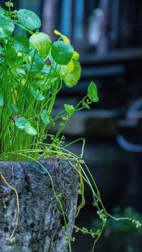 绿植 石盆 盆栽 生长
