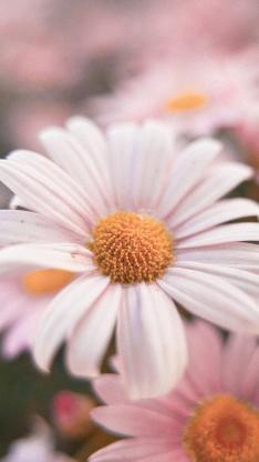 雏菊 菊花 盛开 色彩