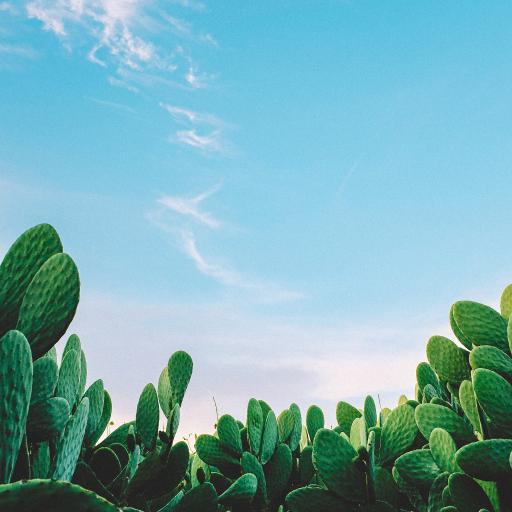 仙人掌 蓝天 白宇 密集 种植
