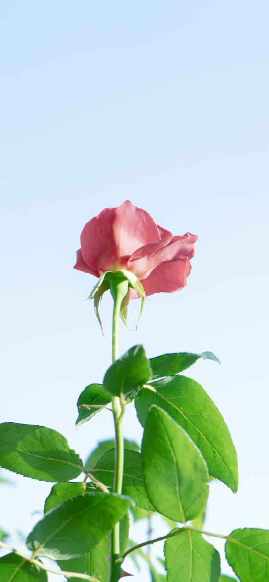 玫瑰 枝叶 鲜花 蓝天