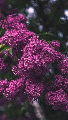 丁香花 鲜花 花团锦簇 紫红色 盛开