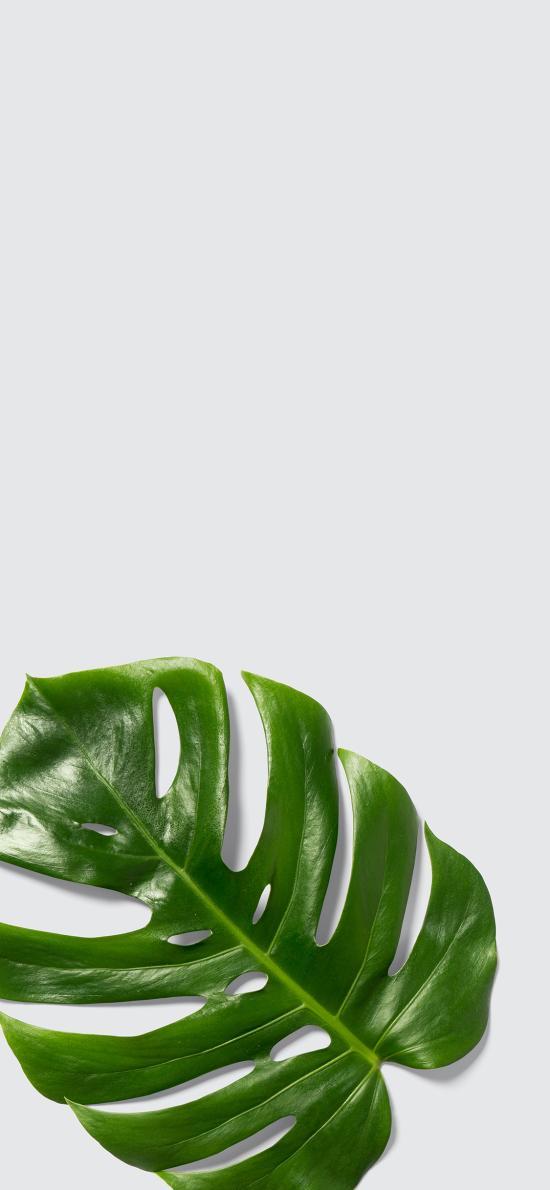 静物 简约 绿植 枝叶 龟背竹