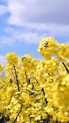 油菜花 花田 黄色 春天 盛开