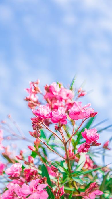 鲜花 天空 唯美 夹竹桃