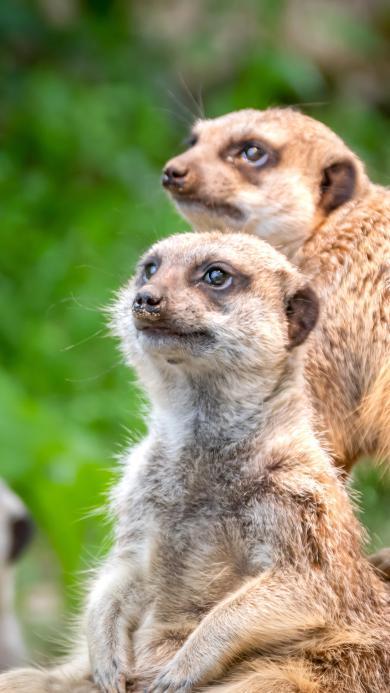 狐獴 群居 野外 哺乳