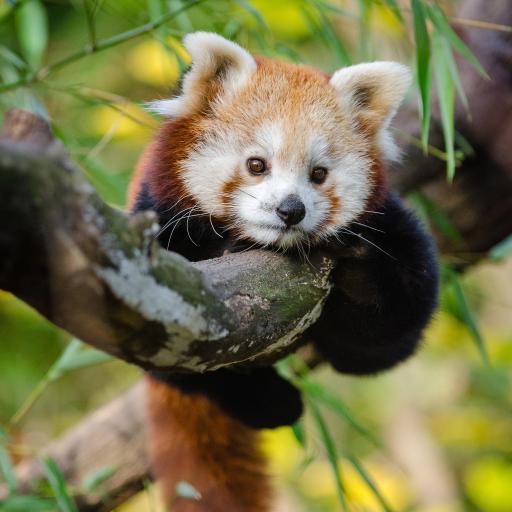 小熊猫 树枝 尾巴 皮毛