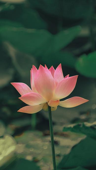 荷花 鮮花 盛開 荷塘 蓮