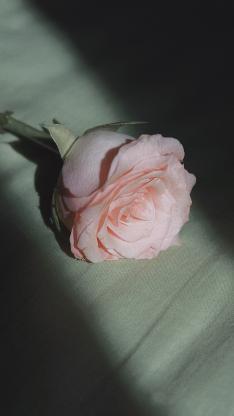 玫瑰 鲜花 光影 枝干