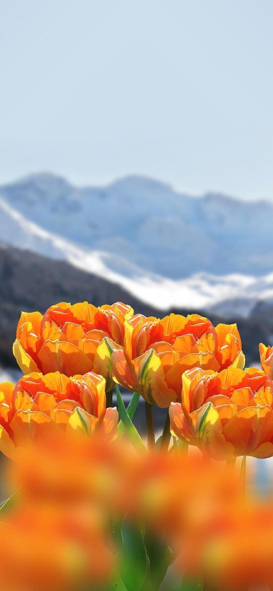 鲜花 黄色 雪山 盛开