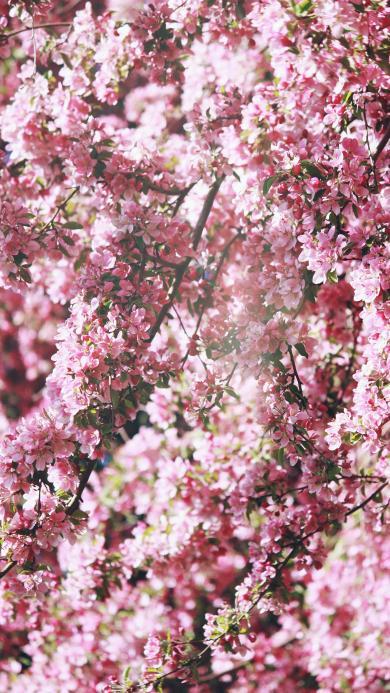 樹木 鮮花 粉色 浪漫