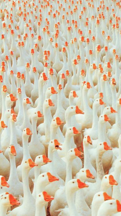 鹅 家禽 种群 密集