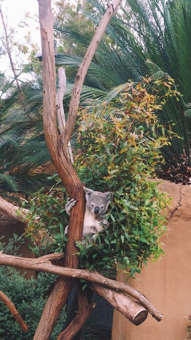 考拉 树袋熊 树干 饲养