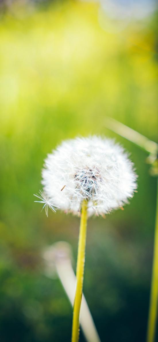 蒲公英 花序 花球 种子