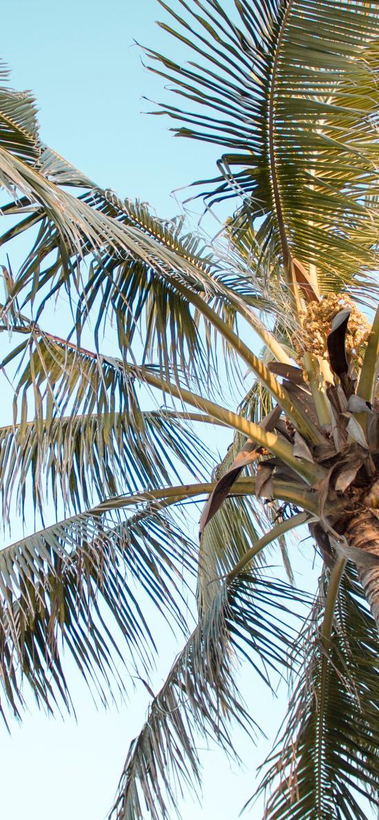 椰树 树冠 天空 枝叶