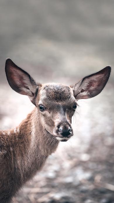 小鹿 保护动物 大耳朵 可爱