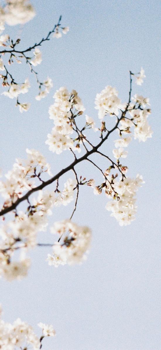 树木 枝丫 鲜花 白色 清新