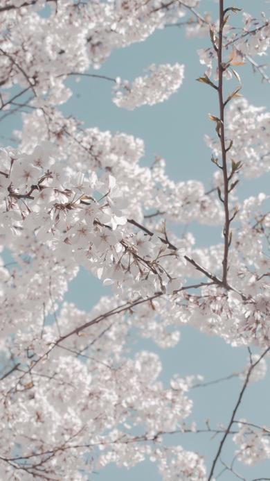 鮮花 枝頭 盛開 春天 白花