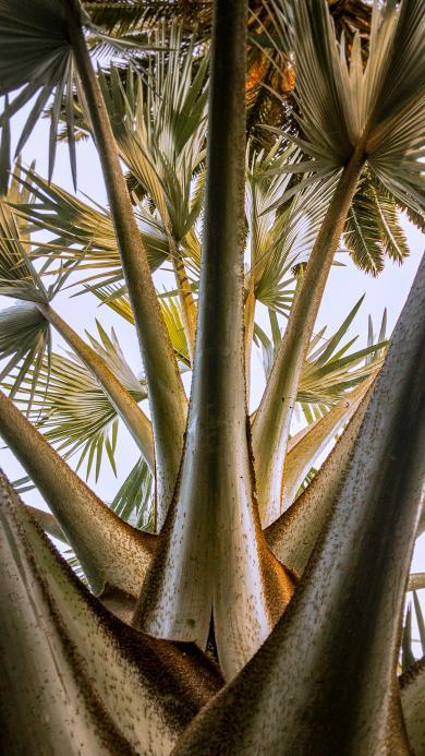 樹木 棕櫚科 鳳尾樹 枝葉