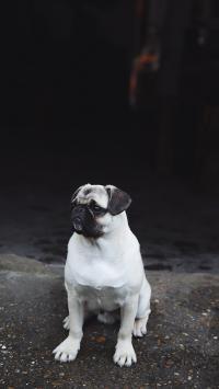 巴哥 狗 黑白 宠物